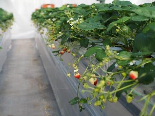イチゴの高温対策