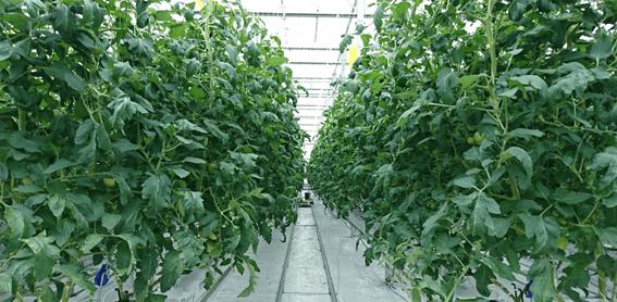 トマトのハイワイヤー栽培