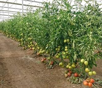トマトの高温対策
