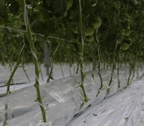 トマト土耕栽培の株元に設置された送風ダクト(CO2と温風の兼用)