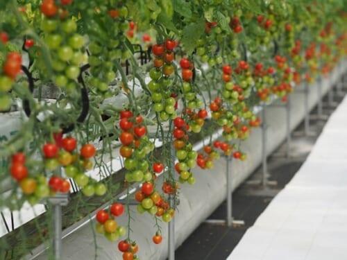 ミニトマト固形培地