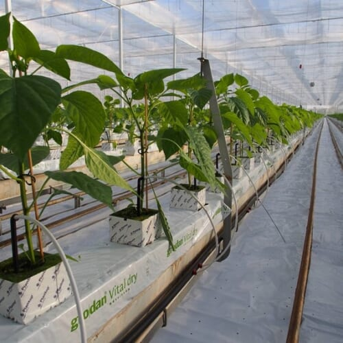 パプリカのロックウール栽培