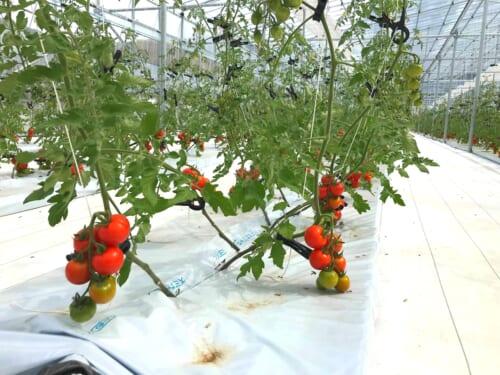 トマトの養液栽培