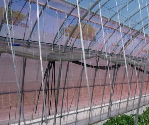 側窓換気と肩換気を併用した開口部の大きな単棟パイプハウス