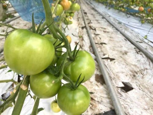 ゼロアグリで育てたトマト