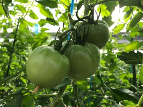 少量多潅水で育てたトマト